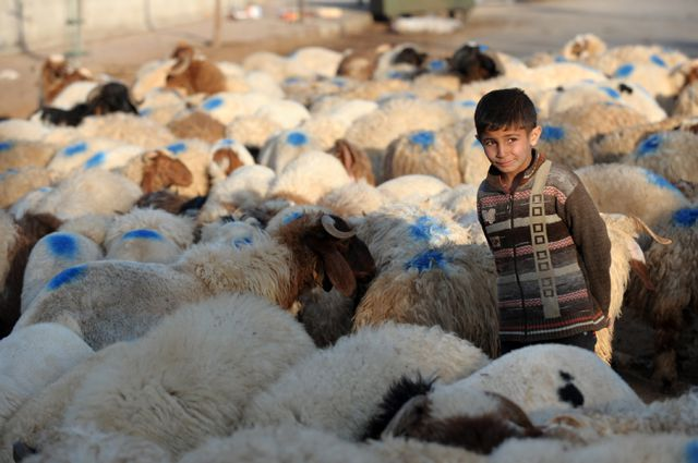 DAMASCUS, Nov. 05, 2011 A Syrian boy guards his sheep at a market in the suburb of Damascus, capital of Syria, Nov. 5, 2011. Muslims across the world are preparing to celebrate the annual festival of Eid al-Adha, or the Festival of Sacrifice, one of the most important feasts on the Muslim calendar. (Xinhua/Yin Bogu) (Credit Image: © ZUMAPRESS.com/Global Look Press)